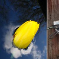 Gele tulp